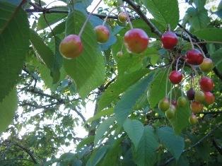 wild fruits: