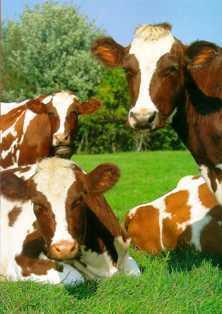 cows: