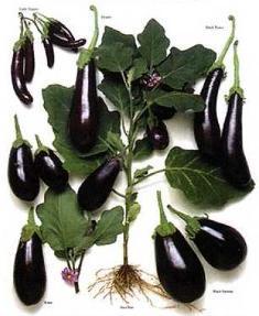 eggplants: