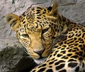 leopard: