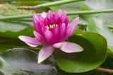 lotus: