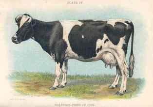 mother cow: