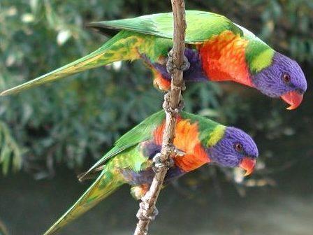 parrots: